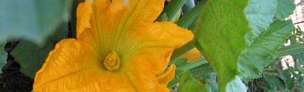calabacin flor