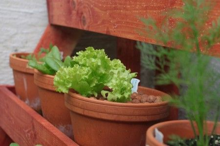 potted lettuce