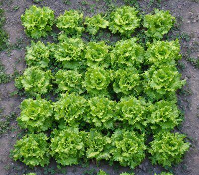 ¿Como crear un semillero de lechugas? 3