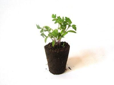 tomate maceta fertilizada