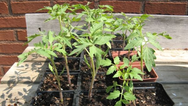 guia para principiantes: trasplantar tomates [3]