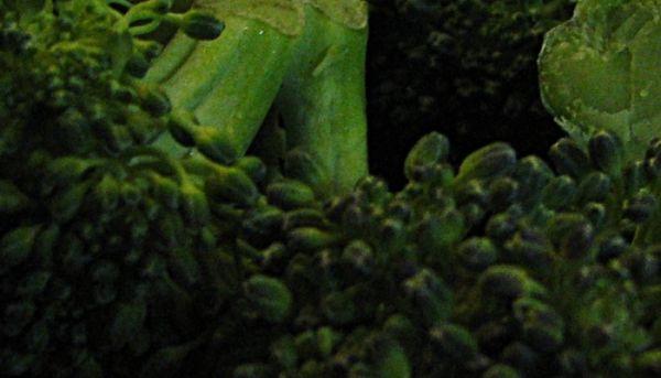 Semillero de Brócoli