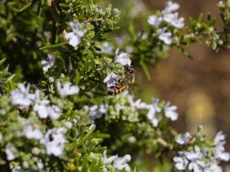 Flor de Romero con abeja