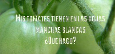 tomates manchas hojas
