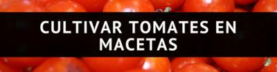tomates en macetas