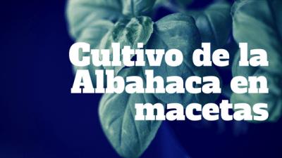 Cultivo de la Albahaca en macetas