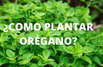 ¿Como plantar Orégano_