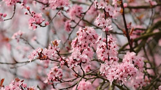 El Almendro, un buen árbol para tu huerto 2